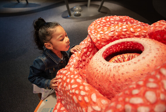 A young girl looks at a model of a corpse lily in the Life! Beginnings exhibition